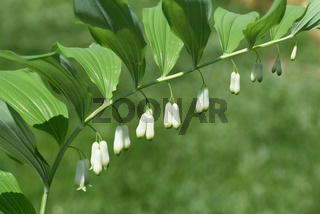 Salomonsiegel, Polygonatum, Odoratum