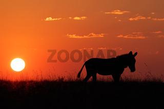 Zebra silhouette