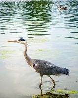 Grey heron fishing on a pond