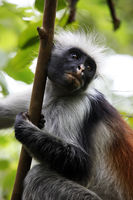 Black-and-white colobus monkey on a tree in rainforest in Zanzibar