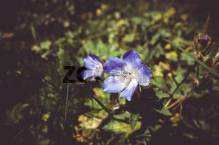 Geranium sylvaticum wild flowers in Vanoise national Park, France