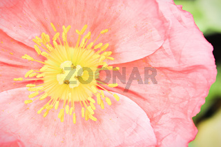 Macro top view of a poppy flower center