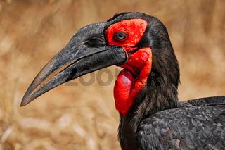 Südlicher Hornrabe, Kruger NP, Südafrika, southern ground hornbill, Kruger NP, South Africa
