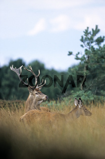 Rothirsch und Kalb in einer Duenenlandschaft - (Rotwild - Edelhirsch) / Red Deer stag and calf in dune landscape / Cervus elaphus