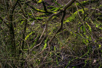 Mossy tree trunks in a dark mystic forest in Germany (Am Kühkopf). Wilderness