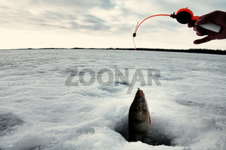 Winter fishing for large perch on a fishing rod in February.