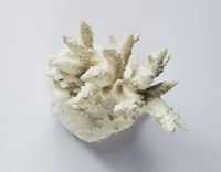 Dry coral branch on white background
