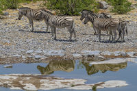 Steppenzebras an einem Wasserloch im Etosha Nationalpark