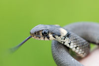 Closeup of grass snake, Natrix natrix