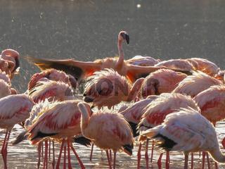 close up of flamingos bathing at lake bogoria, kenya