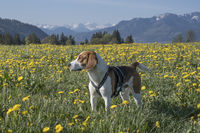Beagle in dandelion meadow