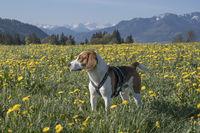 Beagle in dandelion meadow