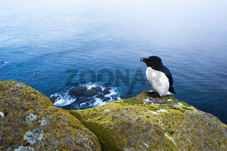 Razorbill sitting on a rocky cliff with sea in background