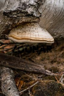 Fomitopsis betulina birch pore fungus mushroom in colourful autumn forest