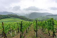 Vineyard in the Ahr valley in Germany