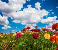 The splendor of multicolored buttercups