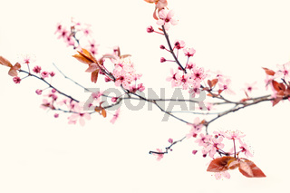 spa beauty cherry flower japan clean elegante white background design view close