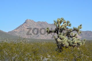 Joshua Tree (Yucca Brevifolia) in Mohave County