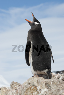 Gentoo Penguin yawns.
