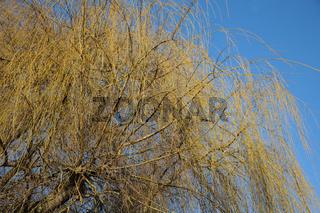 Salix alba Tristis, Trauerweide, Weeping willow