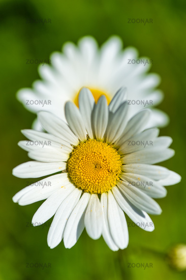 Close up of two daisy flowers