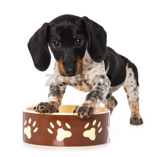 Miniature piebald dachshund with a food bowl
