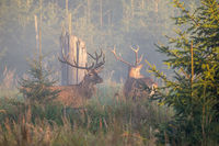 Two majestic red deer stags standing in mist in the morning.