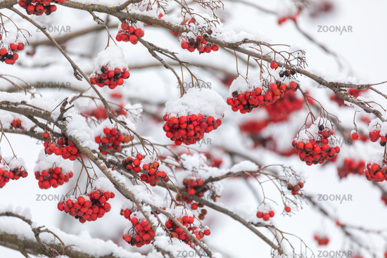 Red Berries on rowan tree covered by snow