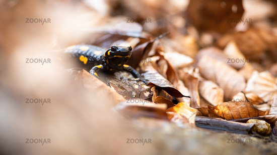 Fire salamander hiding in dry orange foliage in autumn nature.