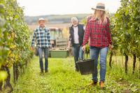 Drei Erntehelfer bei der Weinernte im Weinberg