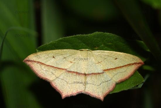 Ampferspanner - Timandra comae