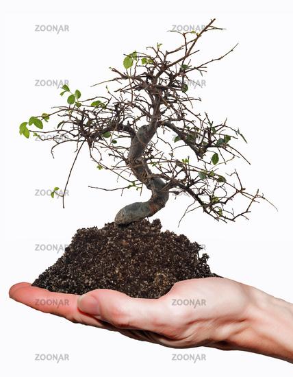 Bare bonsai on hand.