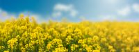 Yellow rapeseed field with blue sky, flowering plants close up