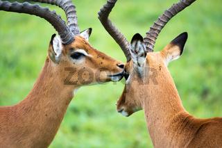 Impala family on a grass landscape in the Kenyan savannah