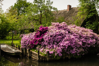 Rhododendron am Spreewald-Kanal