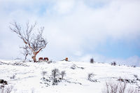 Horses on a hill in a field covered in fresh snow