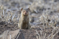 Dwarf Mongoose sitting by a hole in the savannah