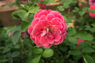 Single Pink Rose growing on plant. Rosa Gallica