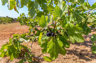 Group of figs as fruit hanging in orchard