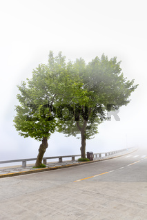 two plane trees in the fog