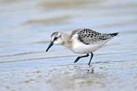 Sanderling on the North Sea coast