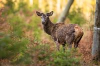 Red deer observing in woodland in springtime nature