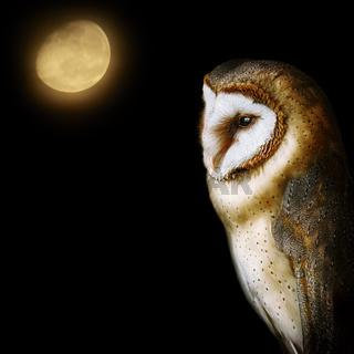 Common barn owl (Tyto alba)