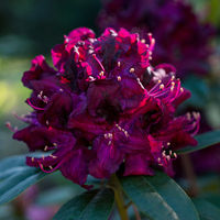 Vinous Rhododendron close-up