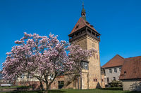 Magnolia tree blossom, Geilweilerhof, Siebeldingen, Rhineland-Palatinate, Germany