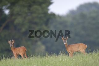 Rehbock Jaehrlinge im Sommerfell aesen auf einer Waldwiese / Capreolus capreolus