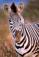 Plains Zebra, South Africa