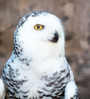 Close-up on a Snowy Owl