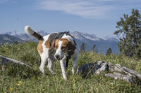 30/5000 Beagle moves to the Hochalm summit