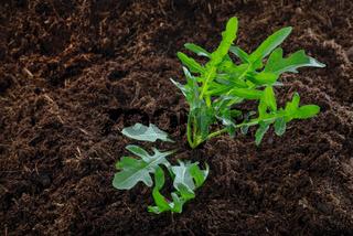 Rucola-Pflanze im Beet